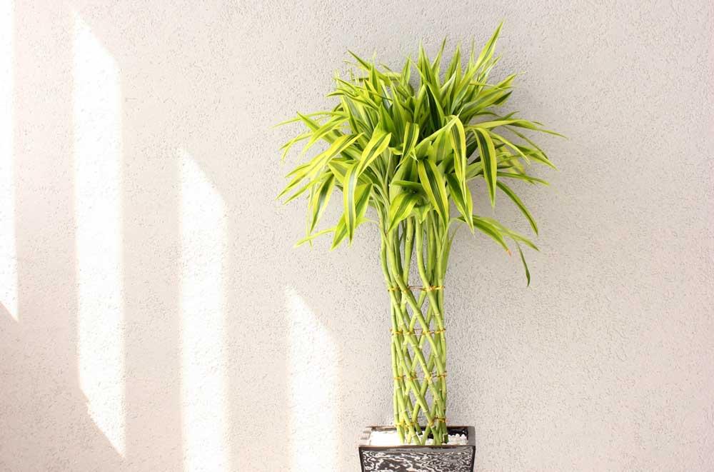 背の高い観葉植物